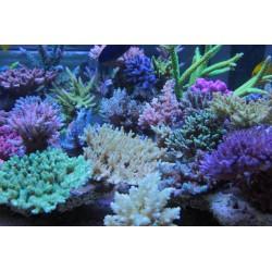 Aquaforest Coral B/ AF Build 10ml