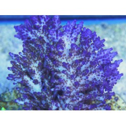 Aquaforest Coral V/ AF Vitality 10ml